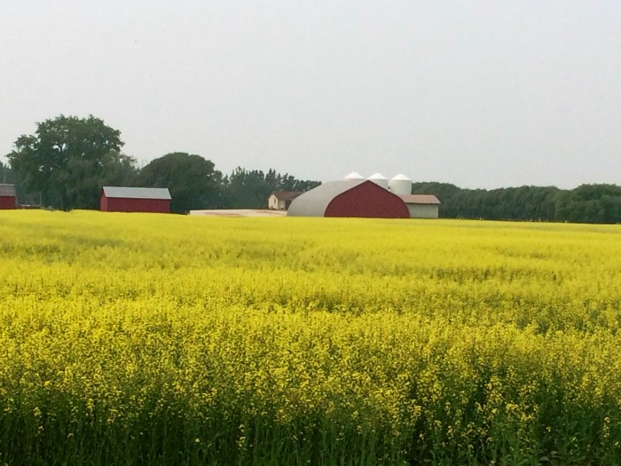 red barn and canola